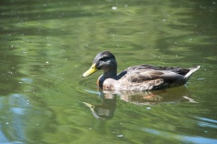Duck swimming around in the pond near St. Stephens Green