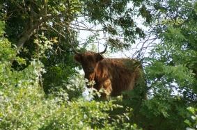Cow on the lookout
