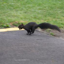 Black Squirrel Running