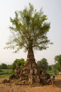 Tree growing out of a pagoda