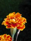 Close-up with a Marigold.