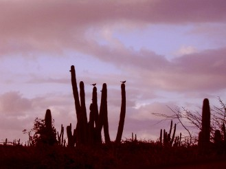 Silhouette of cactuses
